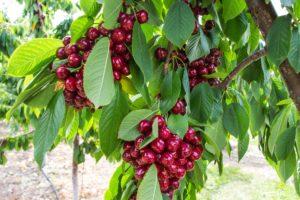 okanagan fruit