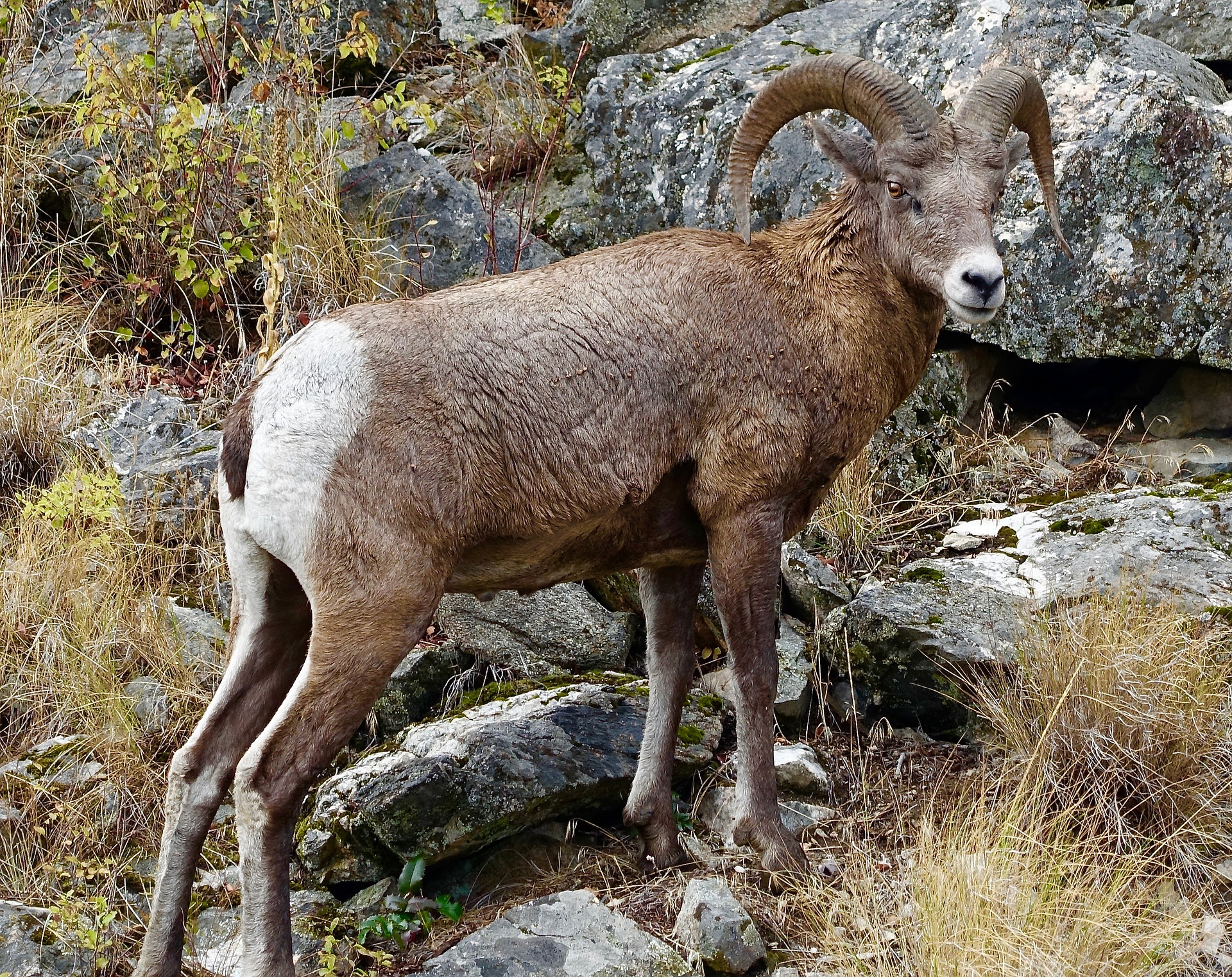 Okanagan Mountain Goat
