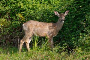 Deer Okanagan