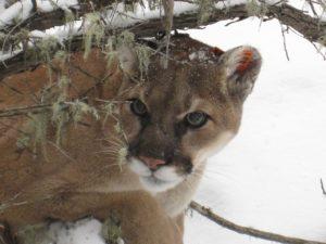 Cougar Okanagan