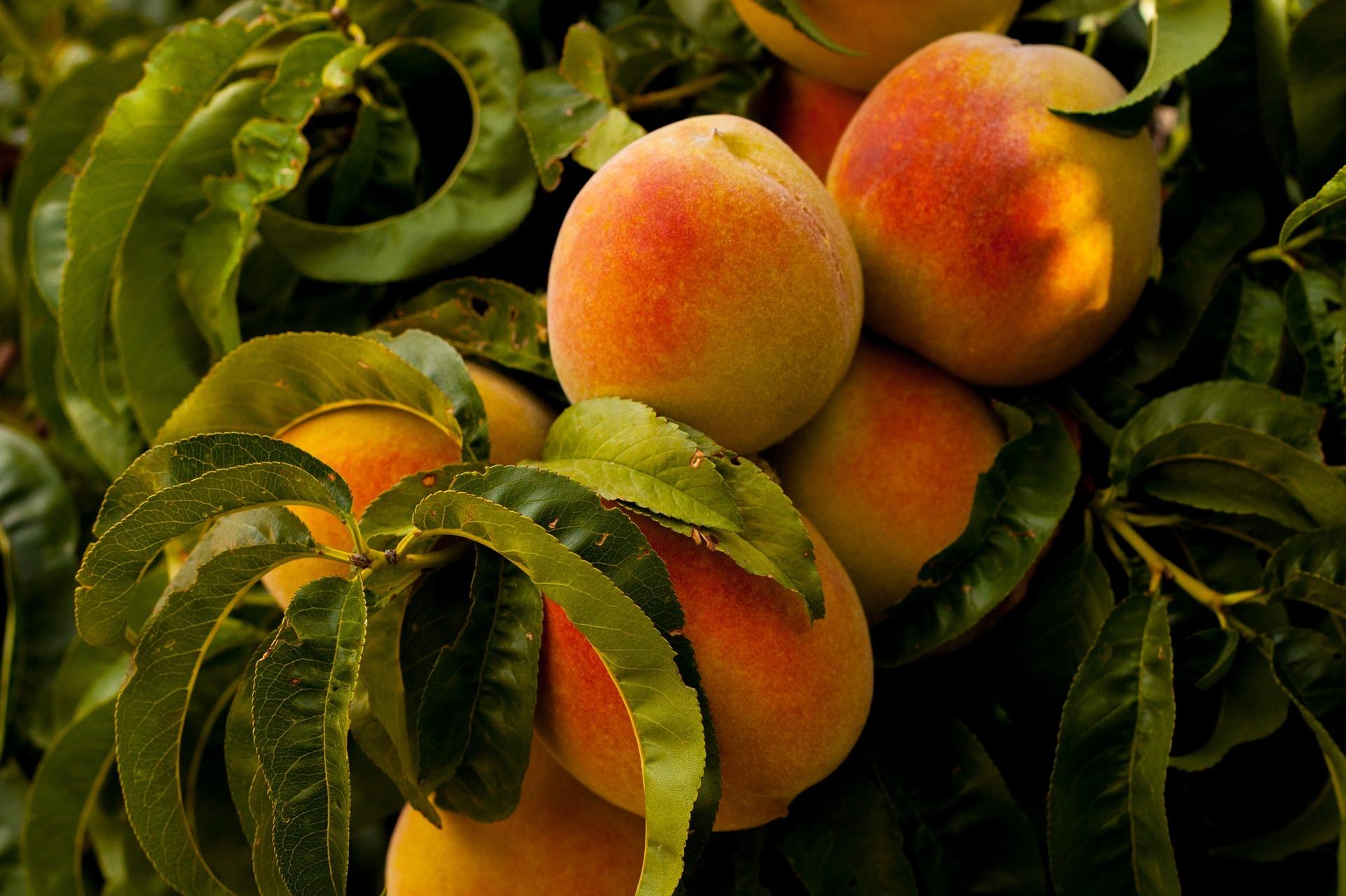 peaches Penticton